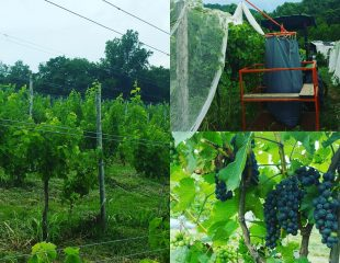 goodwater vines
